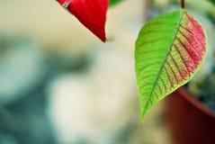 Foglie rosse e verdi di Natale Fotografia Stock Libera da Diritti