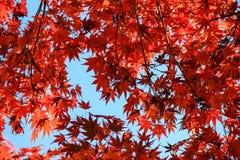 Foglie rosse vibranti con il fondo del cielo Fotografia Stock