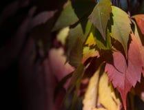 foglie Rosso verdi dell'uva Fotografie Stock
