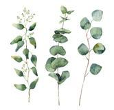 Foglie rotonde e rami dell'eucalyptus dell'acquerello messi Elementi dipinti a mano dell'eucalyptus del bambino, del dollaro semi Immagine Stock