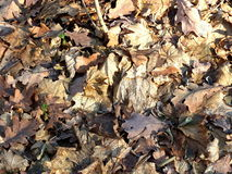 Foglie sbiadite autunno Immagini Stock