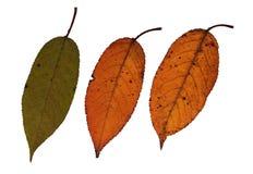 Foglie secche della ciliegia Fotografia Stock