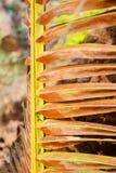 Foglie secche della noce di cocco. Fotografie Stock