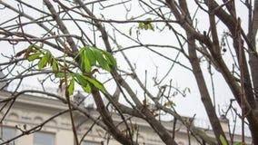 Foglie sole della castagna fra i rami nudi Fotografie Stock Libere da Diritti