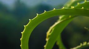foglie spinose dell'aloe Fotografia Stock