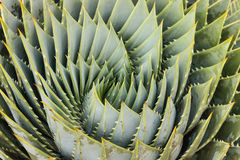 Foglie a spirale dell'aloe Fotografia Stock