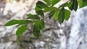 Foglie su priorità alta sulla cascata tropicale vaga della giungla sui precedenti in foresta profonda Fotografie Stock