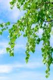 Foglie su un cielo blu del whith della betulla Immagini Stock