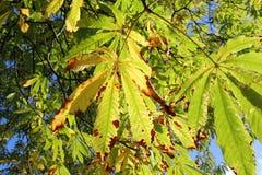 Foglie su un colore cambiante dell'albero nella caduta. Fotografie Stock Libere da Diritti
