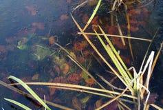 Foglie sul fondo di un lago congelato Fotografia Stock Libera da Diritti