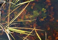 Foglie sul fondo di un lago congelato Immagini Stock Libere da Diritti