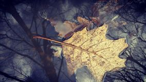 Foglie sul lago Fotografie Stock Libere da Diritti
