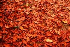 Foglie sulla terra, mucchio del tappeto nella foresta della quercia Immagini Stock