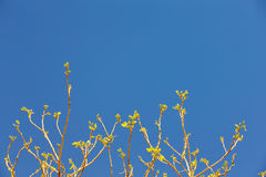 Foglie sulle mancie dei rami di albero contro il cielo blu, molla Fotografia Stock