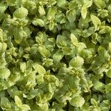 foglie tappeto verdi 免版税库存图片
