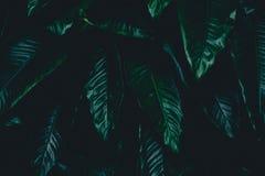 Foglie tropicali del fondo botanico scuro, sbiadite Fotografia Stock