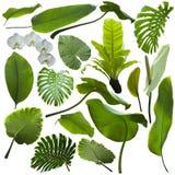 Foglie tropicali della giungla Fotografia Stock