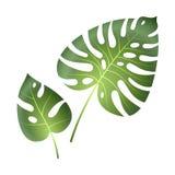 Foglie tropicali di Monstera Pittura isolata vettore verde esotico della foglia delle piante della palma della giungla bello gran royalty illustrazione gratis