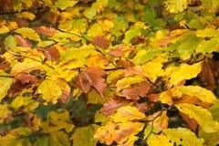 Foglie variopinte della spiaggia nella foresta di autunno Fotografia Stock