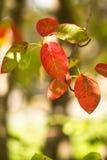 Foglie variopinte di rosso sull'albero in autunno fotografia stock libera da diritti