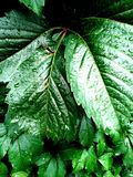 Foglie verde intenso con le gocce dopo pioggia fotografie stock libere da diritti