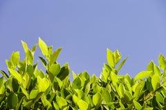 Foglie verde intenso contro il cielo blu, al fondo della f Immagini Stock