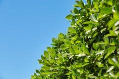 Foglie verde intenso contro il cielo blu, al fondo della f Fotografia Stock