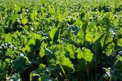 Foglie verde intenso della barbabietola da zucchero Fotografie Stock Libere da Diritti