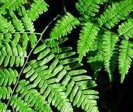 Foglie verde intenso di Forest Ferns immagini stock