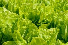 Foglie verde intenso di lattuga Immagini Stock