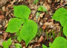 Foglie verde intenso e fiore verde e porpora di una pianta del presa-in--quadro di comando Immagini Stock Libere da Diritti