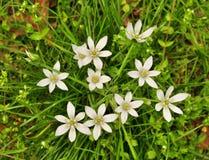 Foglie verde intenso e fiori che bianchi stella-de-Betlemme pianta Immagine Stock