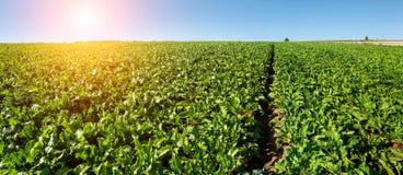 Foglie verde intenso nel giacimento della barbabietola da zucchero con il sole Fotografia Stock