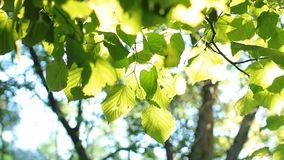 Foglie verde intenso su un albero, acceso dal sole stock footage