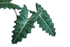 Foglie verde scuro dell'orecchio Alocas della pianta di Kris o di elefante di Alocasia Fotografia Stock