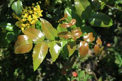 Foglie verdi brillanti di aquifolium di Mahonia Fotografia Stock