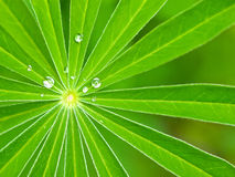 Foglie verdi che si irradiano dal centro con le goccioline di acqua Fotografia Stock Libera da Diritti