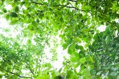 Foglie verdi in cima l'albero Fotografia Stock