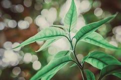 Foglie verdi con bokeh leggero dallo sfondo naturale di alba fotografia stock libera da diritti