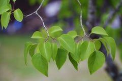 Foglie verdi con fondo porpora Immagini Stock