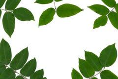Foglie verdi con i rami Immagine Stock