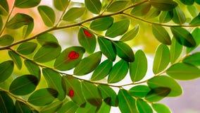 Foglie verdi con il punto rosso Immagine Stock