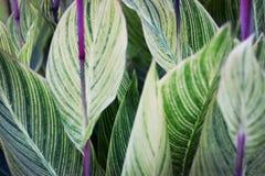 Foglie verdi con la bella vena Fotografie Stock