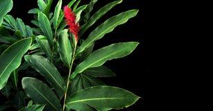 Foglie verdi con la fioritura rossa del fiore del purpur di Alpinia dello zenzero rosso Fotografie Stock