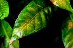 Foglie verdi con la gocciolina nello scuro fotografia stock