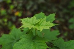Foglie verdi con la marcia delle formiche fotografia stock