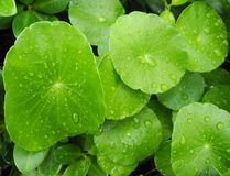 Foglie verdi con le gocce di pioggia Fotografie Stock Libere da Diritti