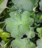 Foglie verdi con le gocce di pioggia Fotografia Stock Libera da Diritti