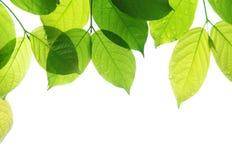 Foglie verdi con le gocce di pioggia Fotografia Stock