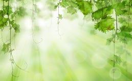 Foglie verdi con luce solare concetto della natura di mattina bio- immagine stock